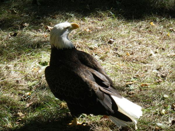 Bald Eagle Bird Perch Bald Eagle America American