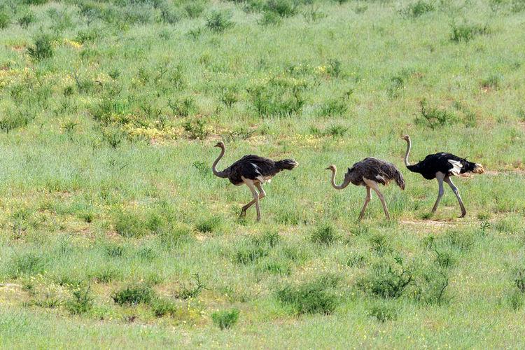 Birds walking in a field