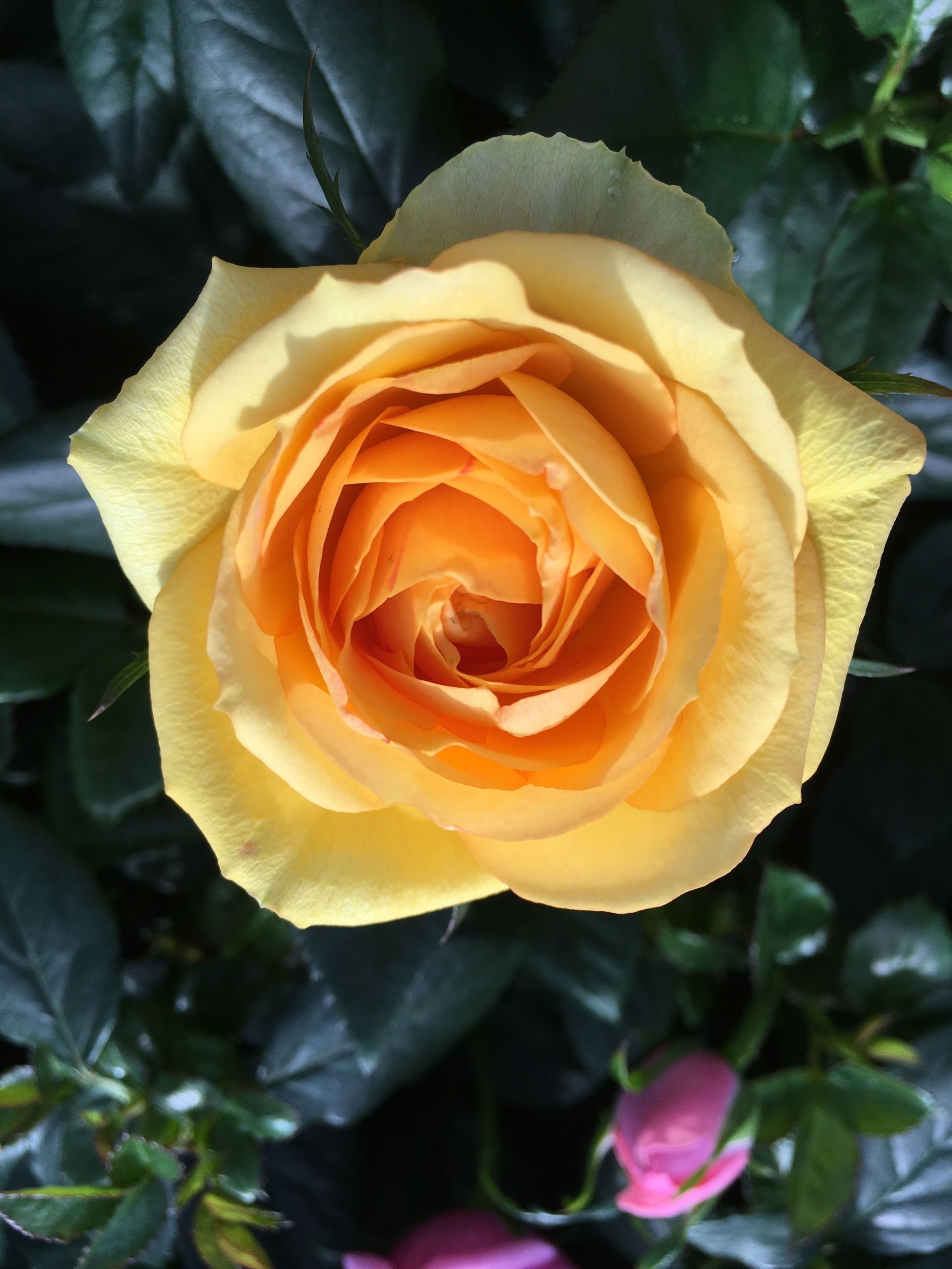 flower, petal, rose - flower, flower head, fragility, freshness, beauty in nature, growth, close-up, yellow, single flower, blooming, rose, nature, focus on foreground, plant, orange color, single rose, in bloom, leaf