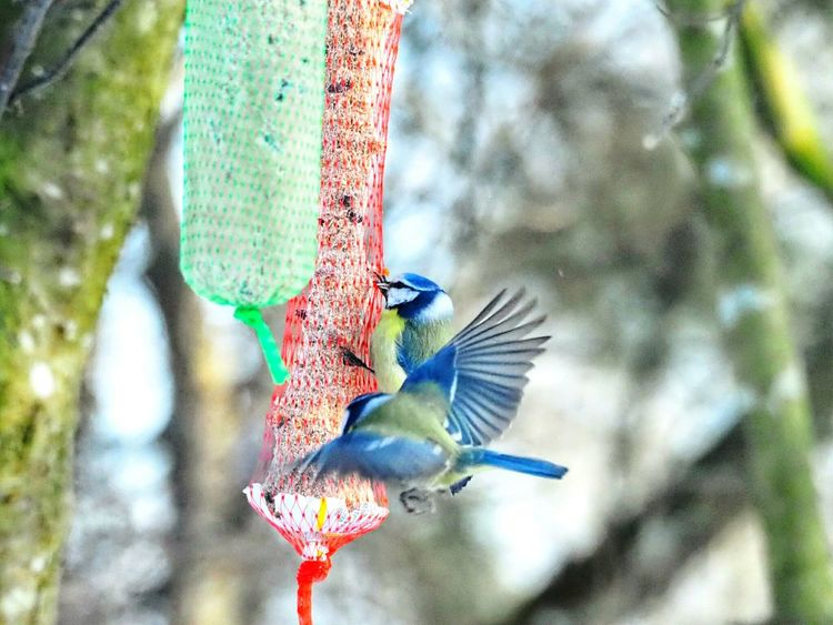 Nature_collection Nature Beauty Winter Nature Outside Bird Photography Bird Feeder Hanging Nature Beautiful Nature Winter Nature Bird Wings Spreading Wings Bird Flying Bird Perching Tree Spread Wings Branch Blue Multi Colored Feather  Close-up Animal Themes Songbird  Bird Feeder Bluetit