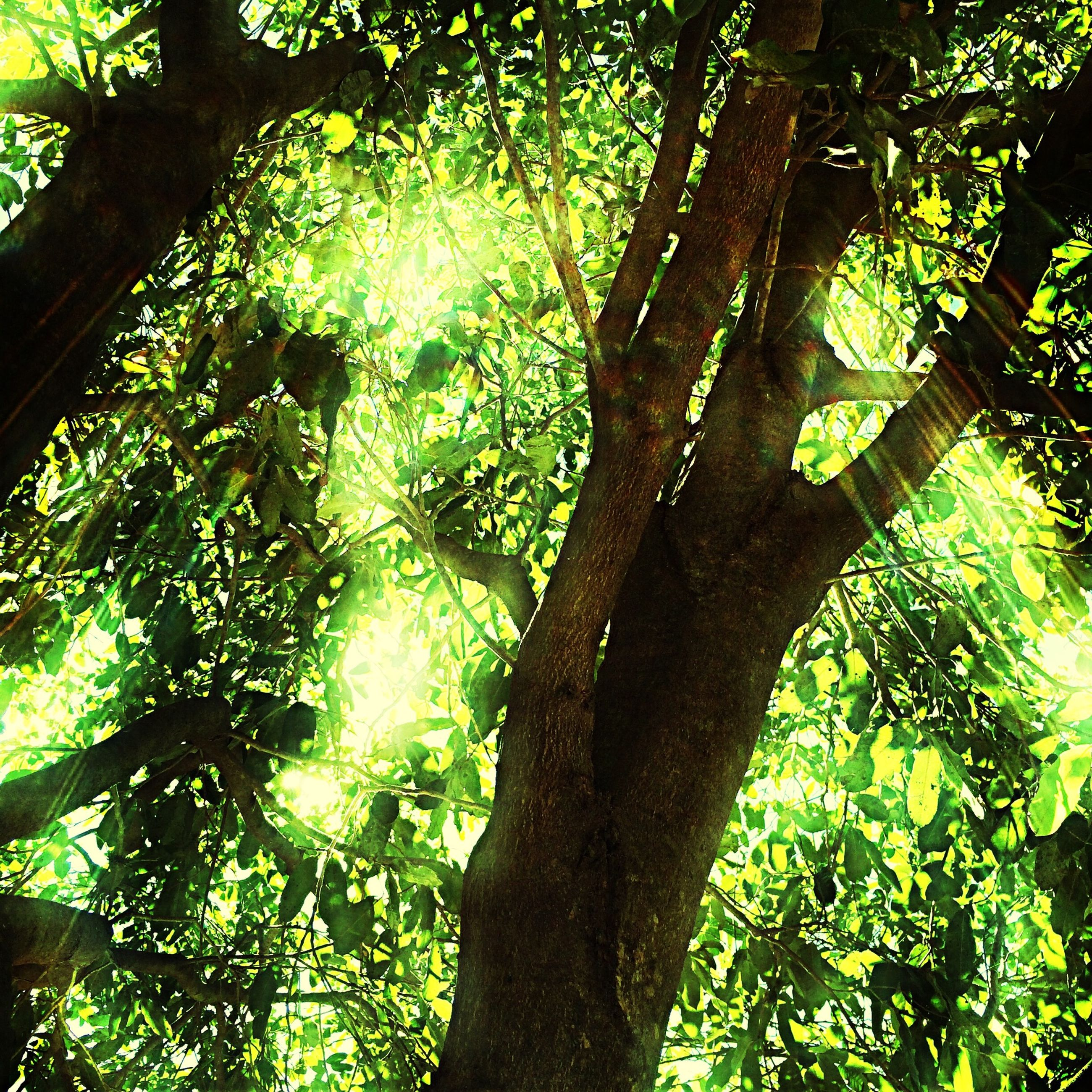 tree, low angle view, branch, growth, tree trunk, green color, nature, tranquility, leaf, forest, beauty in nature, sunlight, lush foliage, day, no people, outdoors, backgrounds, scenics, full frame, green
