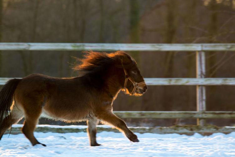 Miniature horse running on snow field during winter