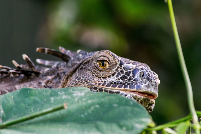 zoológico Bubalco Reptile One Animal Animal Wildlife Animals In The Wild Animal Themes Green Color Close-up Iguana Nature