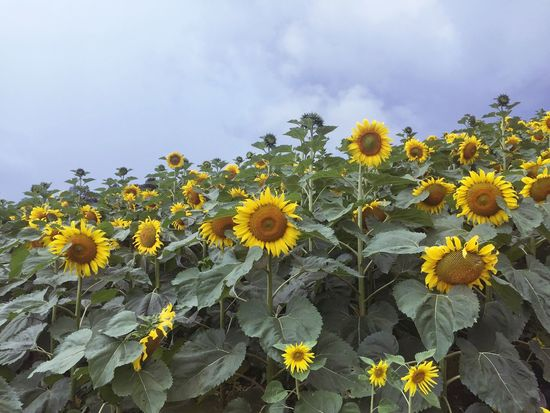 Sunflower Non-urban Scene IPone 6 Plus PhonePhotography Thailand Thailand Photos Chiang Mai | Thailand Chiangmai Yellow Plant Growth Vulnerability  Fragility Freshness Flower Flowering Plant Beauty In Nature Sunflower No People Cloud - Sky Nature