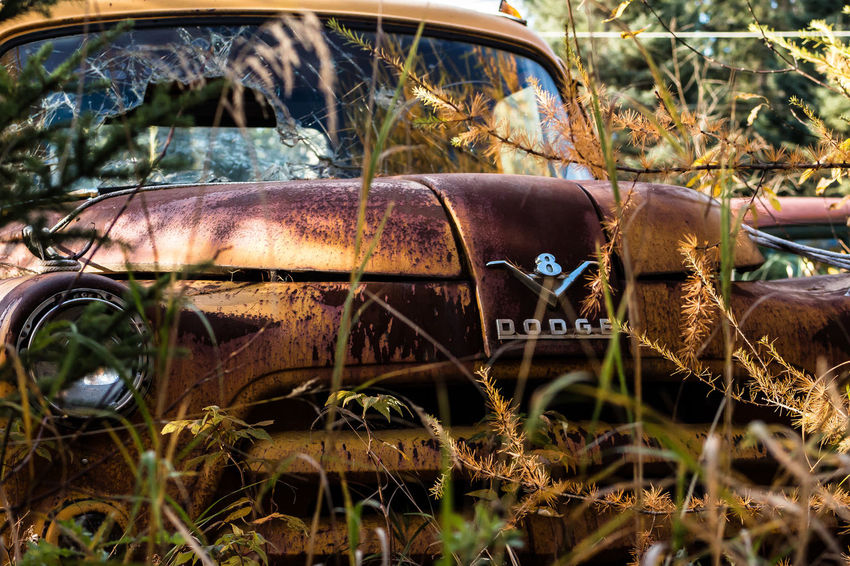 """if Only They Could Talk"" Series 1956 Dodge Truck Abandoned Back In The Day Classic Close-up Derelict Dodge Golden If Only They Could Talk Old Overgrown Rustic Rusty Rusty Autos Rustygoodness Showcase April Smashed The Week On EyeEm Truck Trucks V8 V8 Engine Vintage Vintage Trucks Worn Out"
