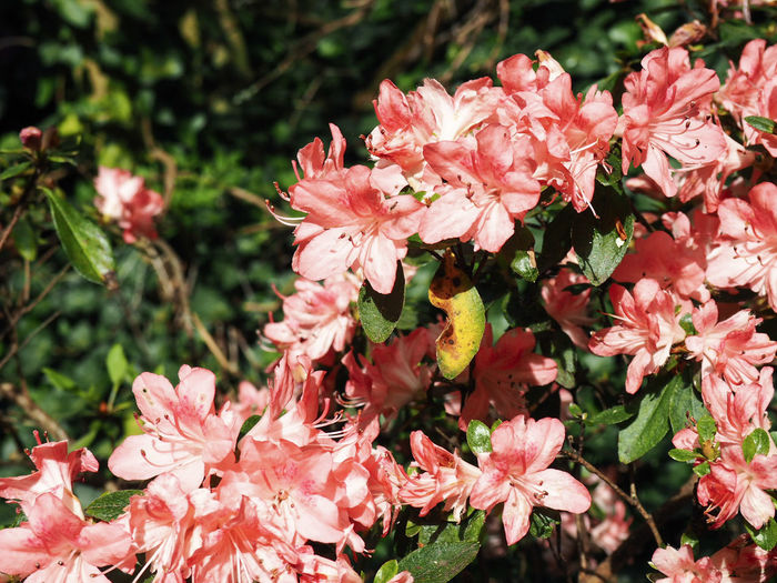 Pink flowers Nature Beauty In Nature Blossom Botany Bunch Of Flowers Close-up Day Flower Flower Head Flowering Plant Fragility Freshness Growth Inflorescence Nature No People Outdoors Petal Pink Color Plant Pollen Rhododendron Spring Springtime Vulnerability