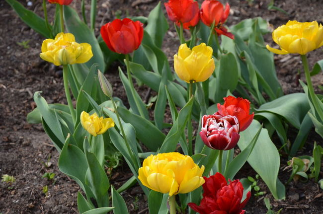 Tulips in Kaliningrad Spring In Kaliningrad Bright Tulips Flower Head Flowers Outdoors Outdoors Red Tulips Spring Flowers Springtime Tulip Field Tulip Flower Tulips Flowers Tulips🌷 Yellow Tulips