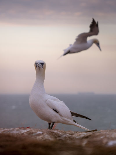 Bird Birds Birding Helgoland Germany Wildlife Wildlife & Nature Gannet Gannets Coast Wildlife Photography Animal Themes Animal Wildlife Vertebrate Animal Animals In The Wild Water Group Of Animals Sea Seagull Two Animals Nature Beach Beauty In Nature Sky No People Day Sea Bird Land