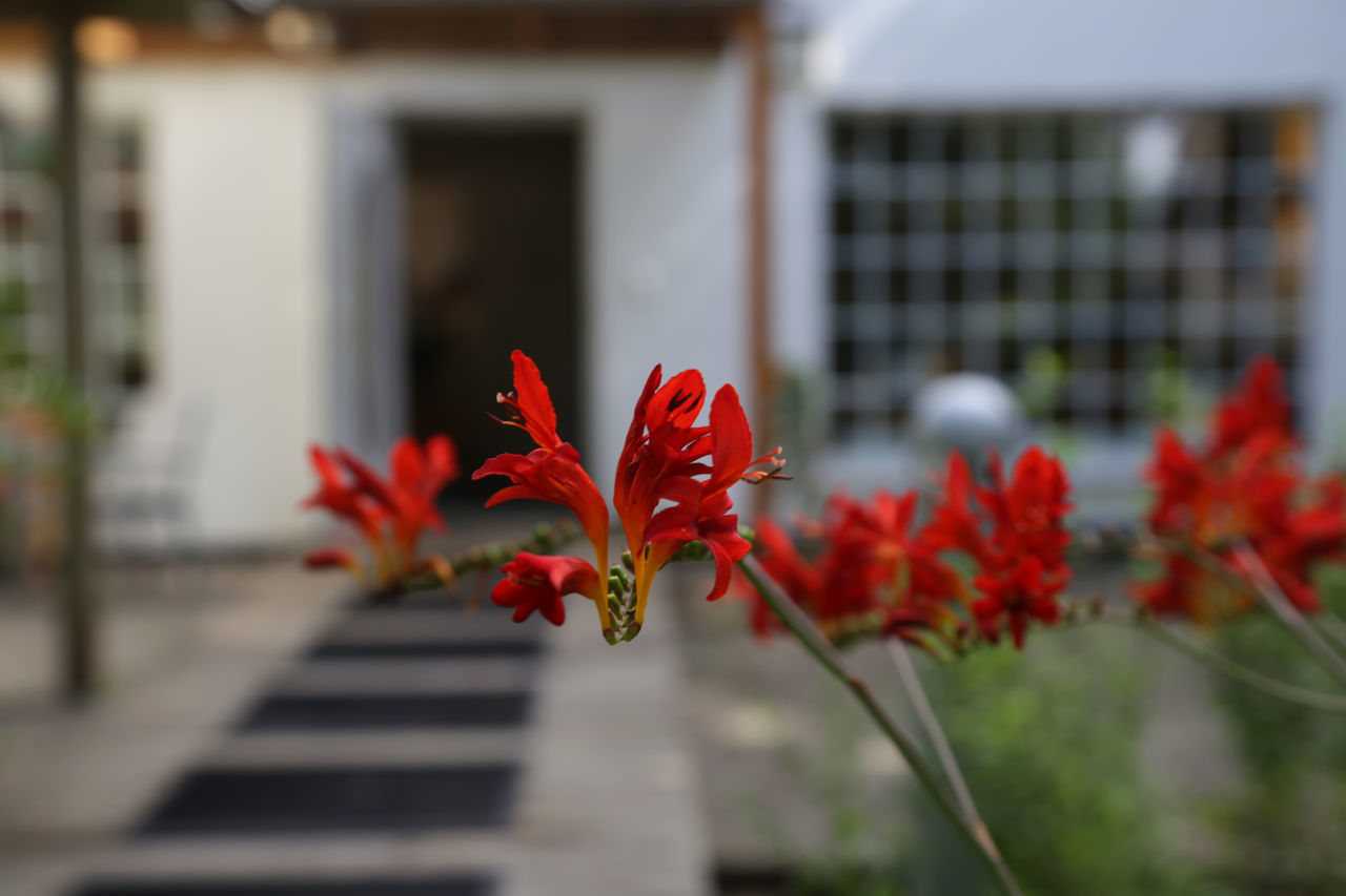 flower, red, growth, focus on foreground, architecture, building exterior, petal, outdoors, day, fragility, built structure, no people, plant, close-up, nature, beauty in nature, flower head, freshness, blooming