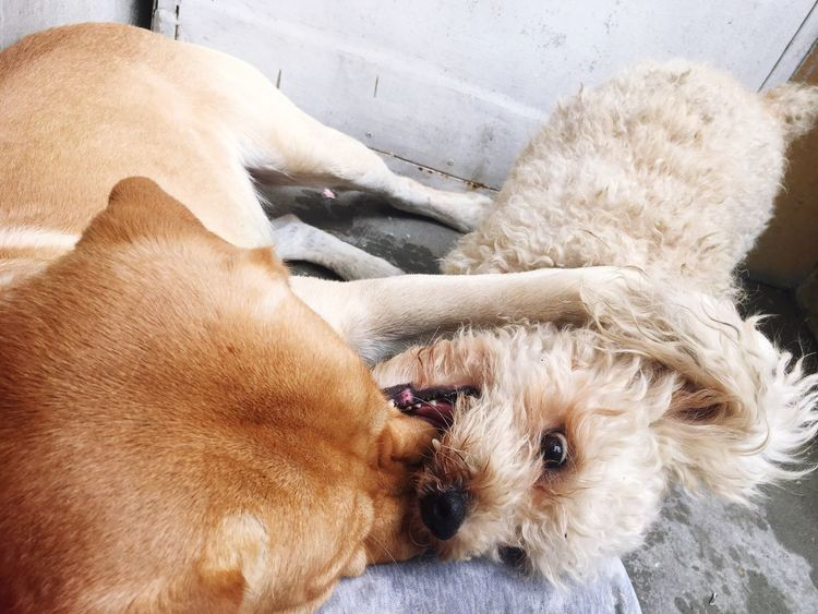 Dog Pets Domestic Animals Animal Themes Indoors  Puppy No People Close-up Brown Day Brotherhood Labrador Poodle Playing Reallove Crazydogs Dog Love Dogs Dogs Of EyeEm Doglover Eyeemdoglover EyeEm Best Shots Eye4photography  EyeEmNewHere EyeEm Gallery My Boys❤️