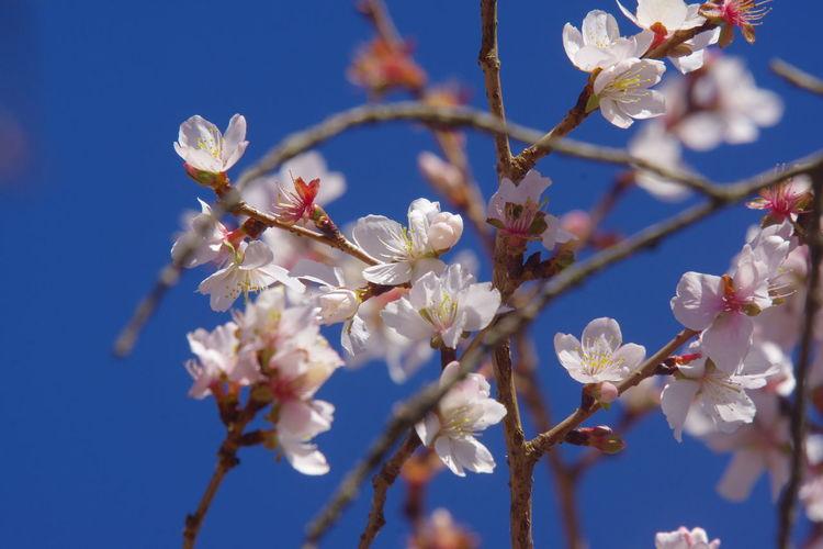 桜山公園 冬桜 桜 群馬県