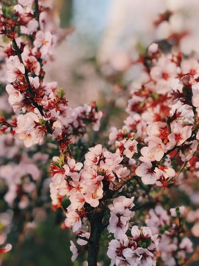 Plant Growth Flower Flowering Plant Fragility Beauty In Nature Tree Freshness Pink Color Nature Blossom Focus On Foreground Springtime Cherry Blossom A New Beginning
