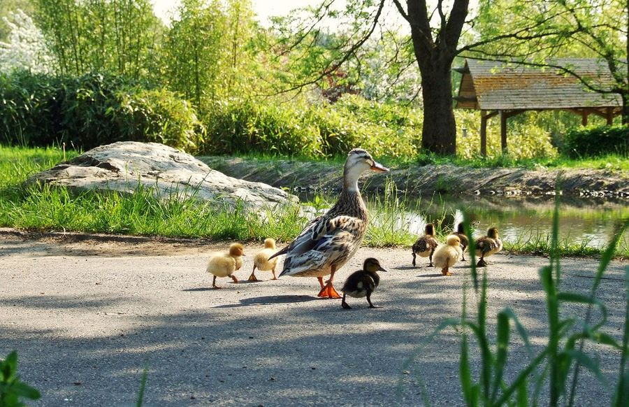 Animals In The Wild Day Duck Family Ducklings Ducks Crossing Flying Green Color Nature Park - Man Made Space Pond Pond Life Tree Tree Trunk Zoology