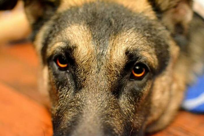 GSD German Shepherd Gsdpuppy Eyes Are Soul Reflection