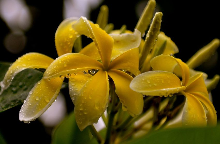 Heirloom 5 Seeds Plumeria Alba Yellow Paint The Town Yellow Beauty In Nature Blooming Close-up Flower Flower Head Frangipani Freshness Nature Plant Plumeria Blossoms Yellow Yellow Flowers