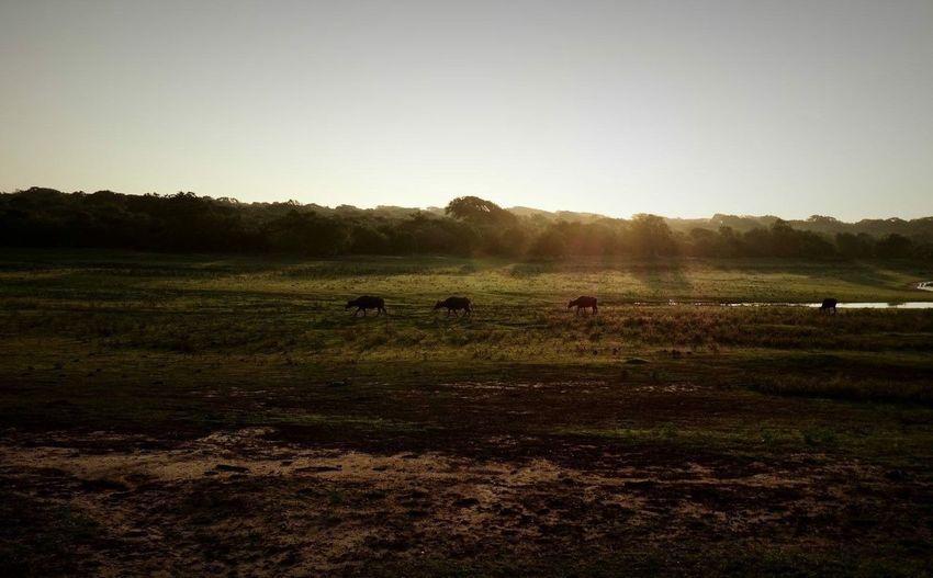 Safari Yala National Park Sri Lanka Wildlife Nature Sunrise