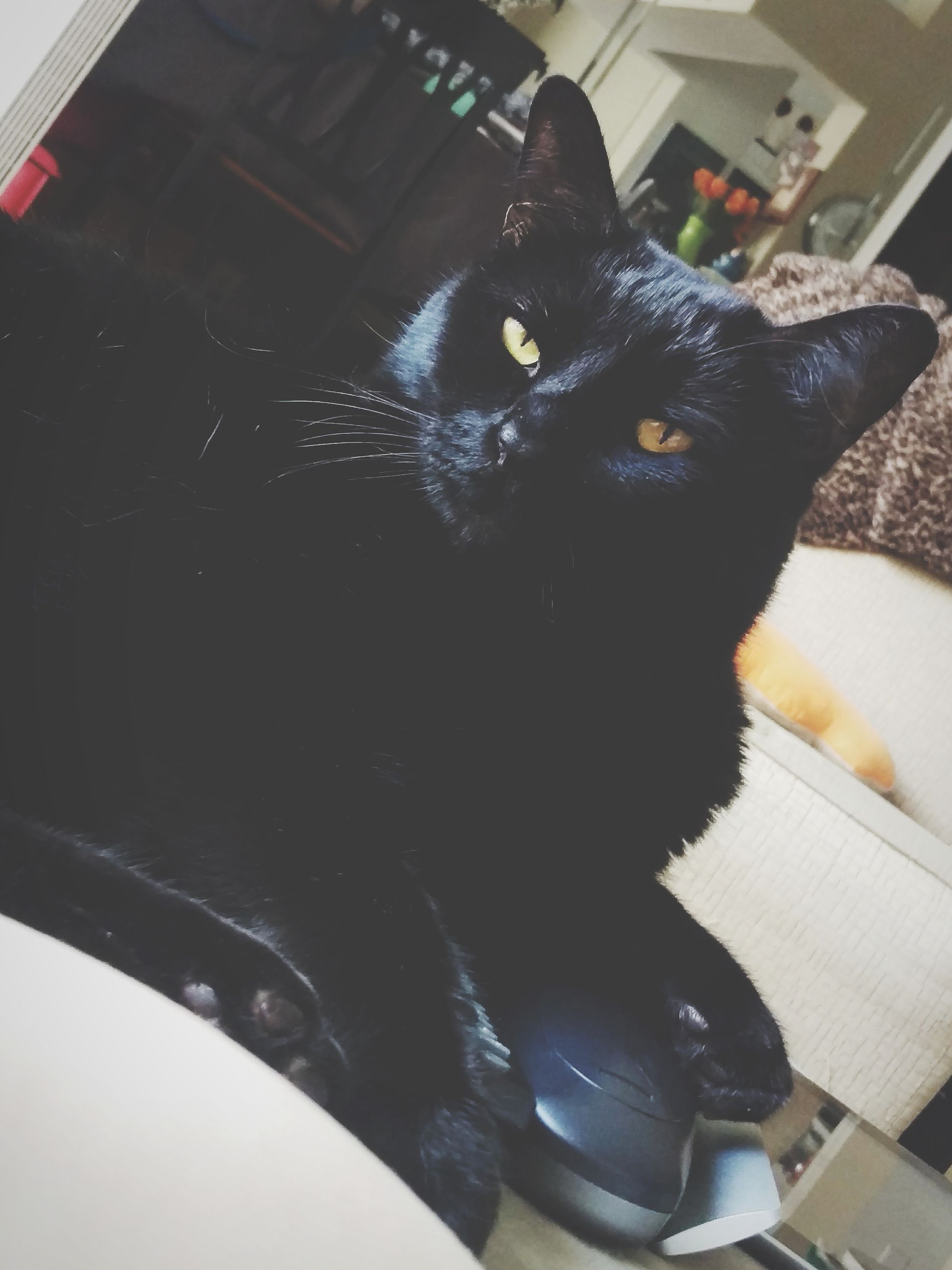 pets, domestic animals, domestic cat, one animal, animal themes, feline, mammal, indoors, portrait, looking at camera, black color, no people, high angle view, whisker, sitting, close-up, day