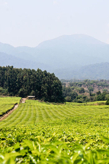 Agriculture Beauty In Nature Clear Sky Day Farm Field Growth Landscape Mountain Mountain Range Nature No People Outdoors Rural Scene Scenics Sky Tea Plantation  Tranquil Scene Tranquility Tree