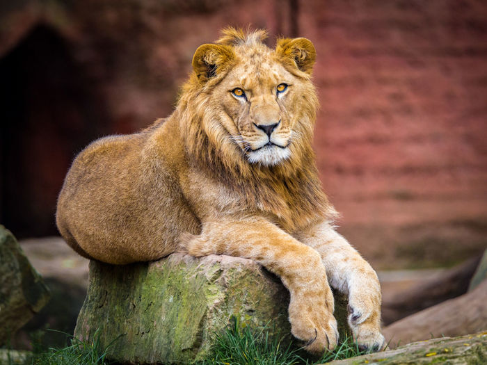 Close-up of lion on tree trunk
