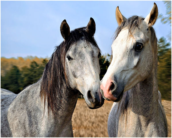 Animal Body Part Animal Head  Animal Love Animal Photography Animal Portrait Animal Posing Animal Themes Close-up Domestic Animals Focus On Foreground Horse Horse Riding Horses Looking At Camera Two Animals Working Animal