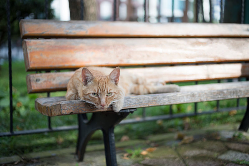 Portrait Of Ginger Cat Lying Down On Bench At Park