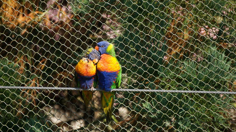 Animal Themes Animals In The Wild Bird Close-up Colorful Parrot Love Multi Colored One Animal Parrot Safety Two Animals Wildlife Zoology
