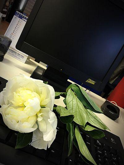 Promoflor Peonia Flower