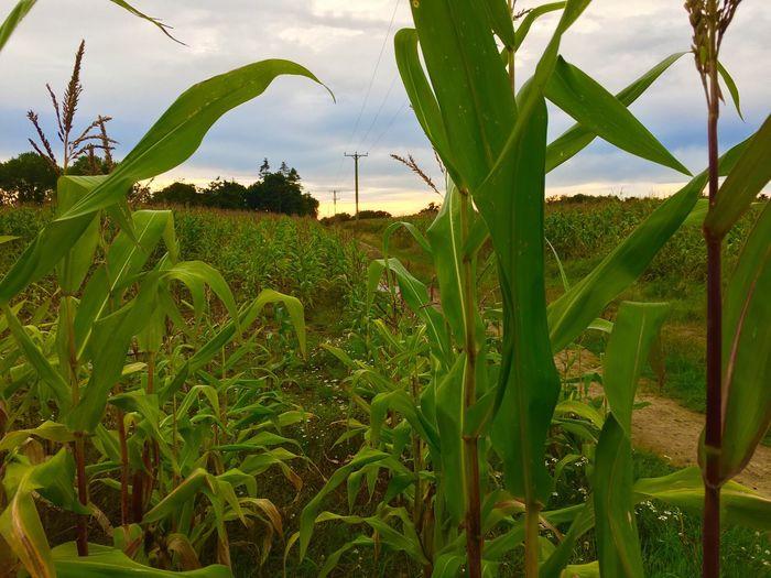 Corn 🌽