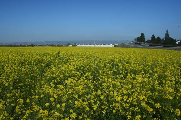 Abundance Agriculture Beauty In Nature Clear Sky Crop  Cultivated Land Field Flower Freshness Growth Idyllic Landscape Mustard Fields Nature No People Outdoors Plant Rural Scene Scenics Tranquil Scene Tranquility Yellow Hidden Gems