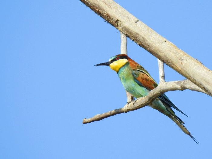 Animal Wildlife Bird Animal Clear Sky Blue Sky Nature Tree Beauty In Nature Animal Themes Bee-eater Merops Apiaster