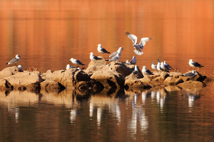 California gulls migrating Animals In The Wild Bird Lake Flock Of Birds Water Reflection No People Outdoors Spread Wings Beauty In Nature Animal Themes Nature Animal Wildlife Gulls Gulls In Flight California Gull Gunlock Reservoir Gunlock State Park Utah