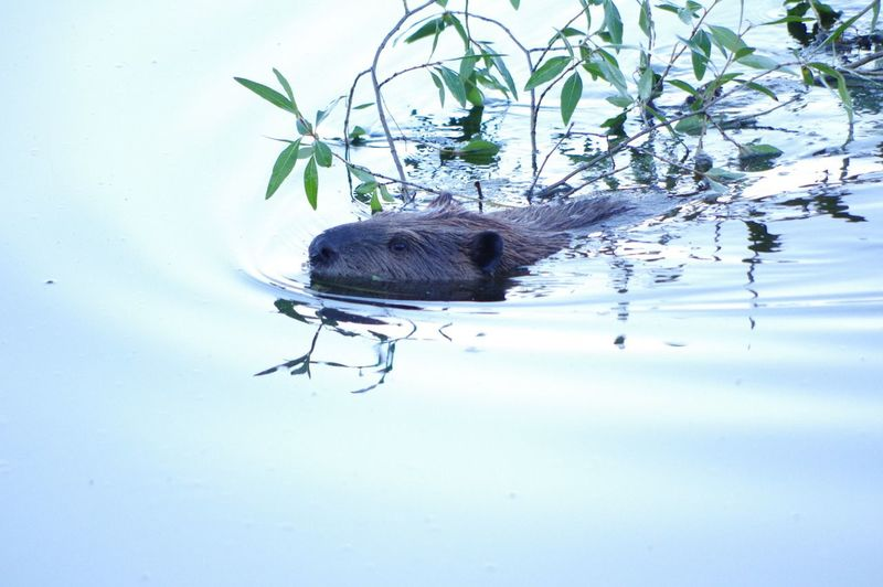Beaver taking food to its pups Animal Themes Animals In The Wild Nature Animal Wildlife Nature Beaver Beaver Work Wild Wildlife Wildlife & Nature Wildlife Photography
