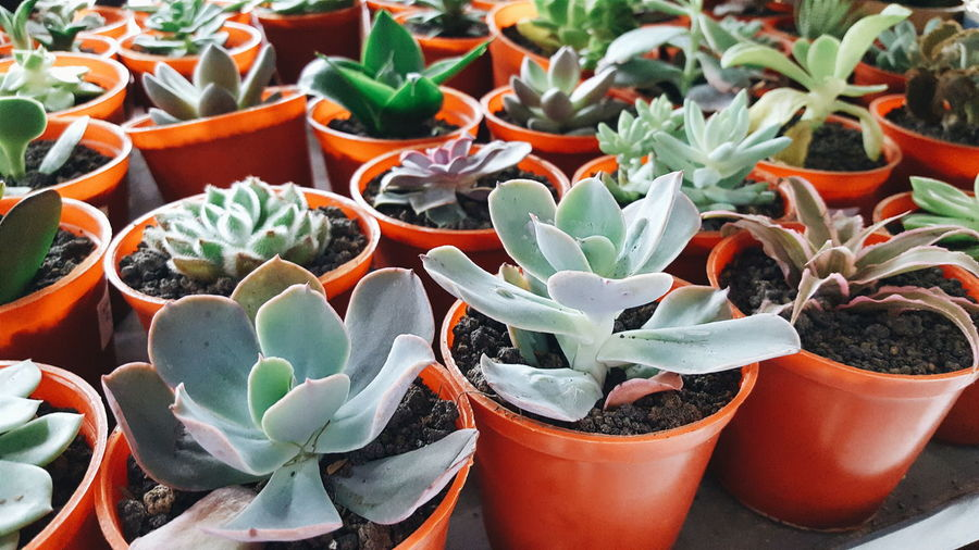 Close-up of potted succulent plants in greenhouse
