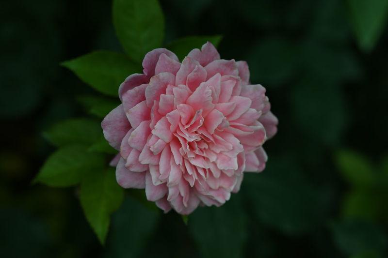 Transience Rose