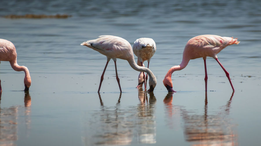 Flamingos foraging in lake