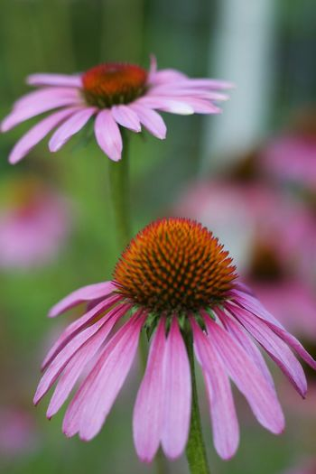 Flower, Macro Photography Toronto Beauty In Nature Blooming Close-up Coneflower Day Eastern Purple Coneflower Echinachea Flower Flower Head Focus On Foreground Fragility Freshness Growth Nature Nikonphotography No People Outdoors Petal Pink Color Plant Pollen Purple Torontophotographer Trillium Par