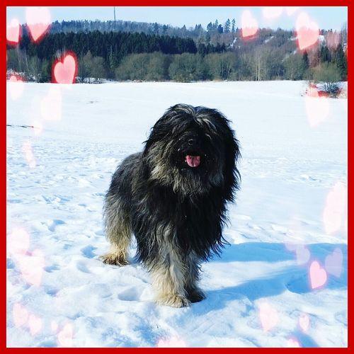 Valentinesday Bentjesgosaugustin Winterwalk Gos D'atura Ilovemydog Dog Walking Dog Nature Landscape
