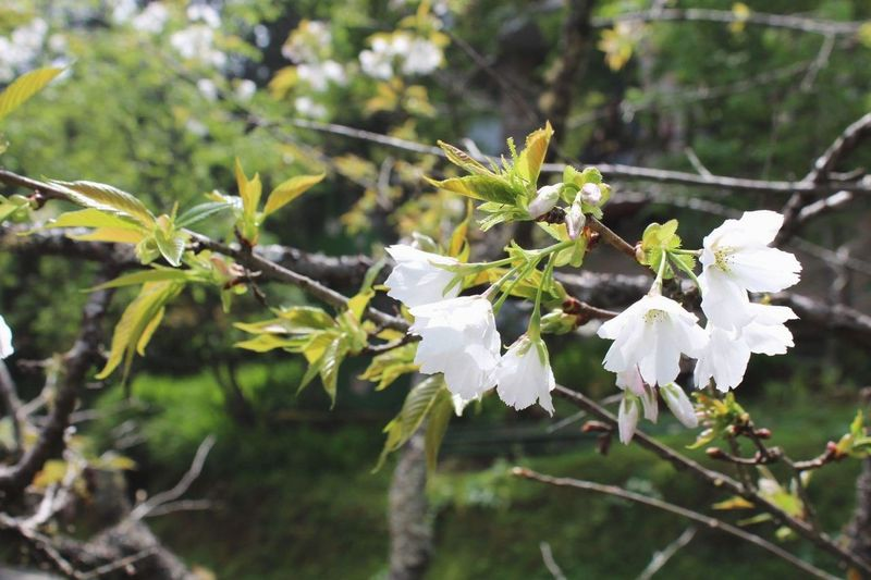 Nature White Cherry Blossom EyeEm Selects