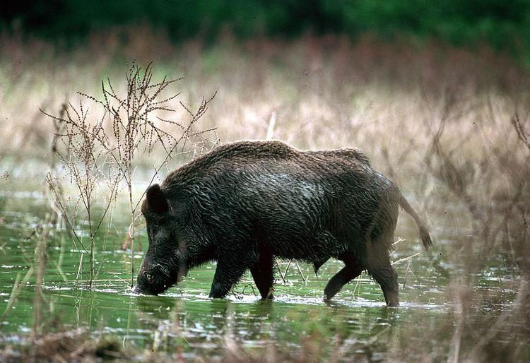 Wild boar in swamp