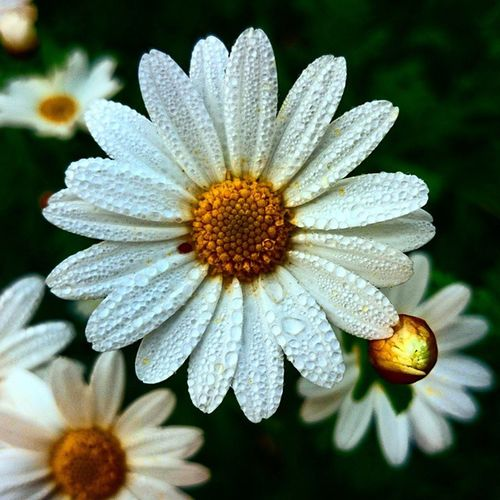 Flower Floweragain Spring Tbs Oldpic Contrast Daisy Notreally Nature Ig_captures_makro Whpsuperstition Dream_spots Circle_artventure Instagood