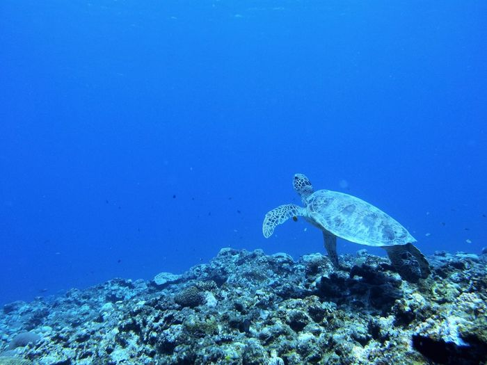 turtle Scuba Diving Kerama Blue Kerama Islands Japan Sea Underwater Marine Sea Life Water Blue Turtle No People Nature UnderSea Sea Turtle EyeEmNewHere