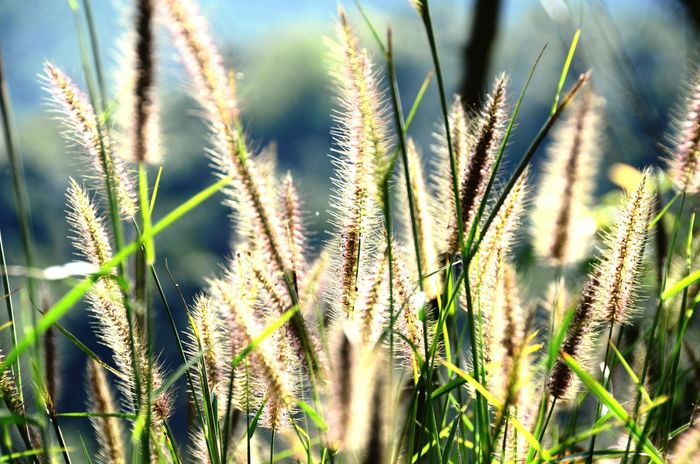 Meadows Meadows And Fields Grass Field Sunlight Light Grass Backlight Timothy Grass Relaxing Beauty In Nature Nature Miles Away Thailand