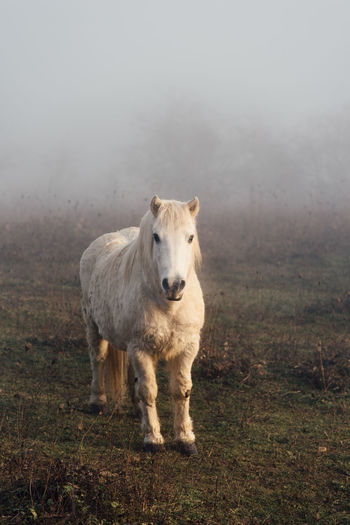 EyeEm Selects One Animal Fog Mammal Animals In The Wild Animal Wildlife Animal Themes No People Full Length Outdoors Nature Standing Day Beauty In Nature Grass Domestic Animals American Bison Ponies Poney Pony Horse