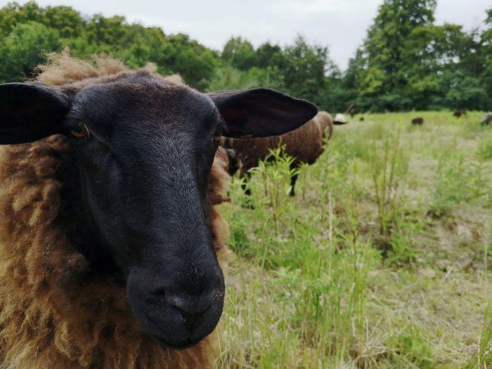 Black Sheep No