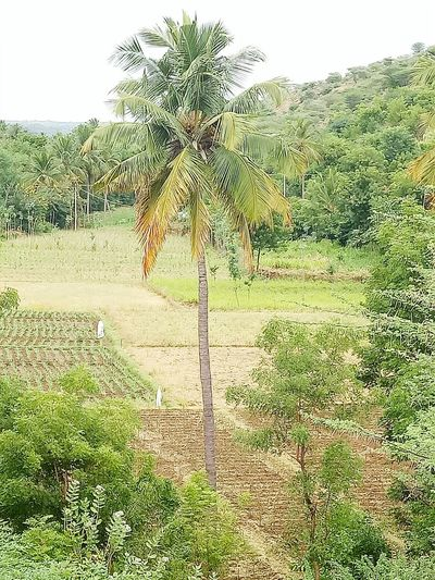 Cocunt tree Outdoors Coconut Palm Tree Close-up Wildlife Nature Livestock Freshness Place Pauparapatt Dharmapuri TN India