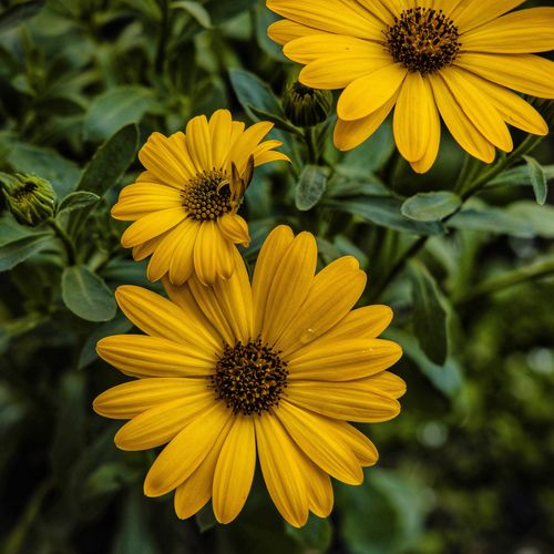 Osteospermum Osteospermum Flower Flowering Plant Freshness Flower Head Plant Growth Inflorescence Pollen Petal Fragility Yellow Vulnerability  Beauty In Nature Close-up No People Nature Focus On Foreground Outdoors Day