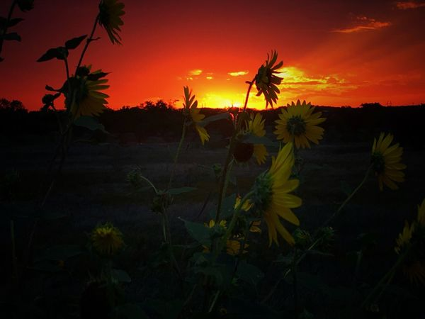 Sunflowers Sunflower Texas Sunset Texas Skies Texas Sky Texas Landscape Sunset_collection Sky_collection Nature_collection EyeEm Nature Lover Eye4photography  IPhone Eyeemphotography Copy Space Backgrounds Iphonephotography IPhoneography Orange Sky Twilight Majestic Dramatic Sky Cloud - Sky Sun EyeEm Sunset Flower Growth Nature Sunset Plant Beauty In Nature Sky No People Field Outdoors Petal Uncultivated Tranquility Flower Head Tranquil Scene Scenics Freshness Fragility Rural Scene Yellow Paint The Town Yellow The Week On EyeEm Lost In The Landscape Perspectives On Nature