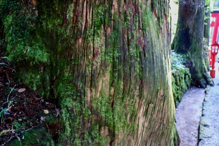 Hakone Japan Beautiful Forest Green Green Green!  EyeEm Best Edits Moss-covered Mossporn Beautiful Moss Moss Art Beautiful Nature Mossy Wood