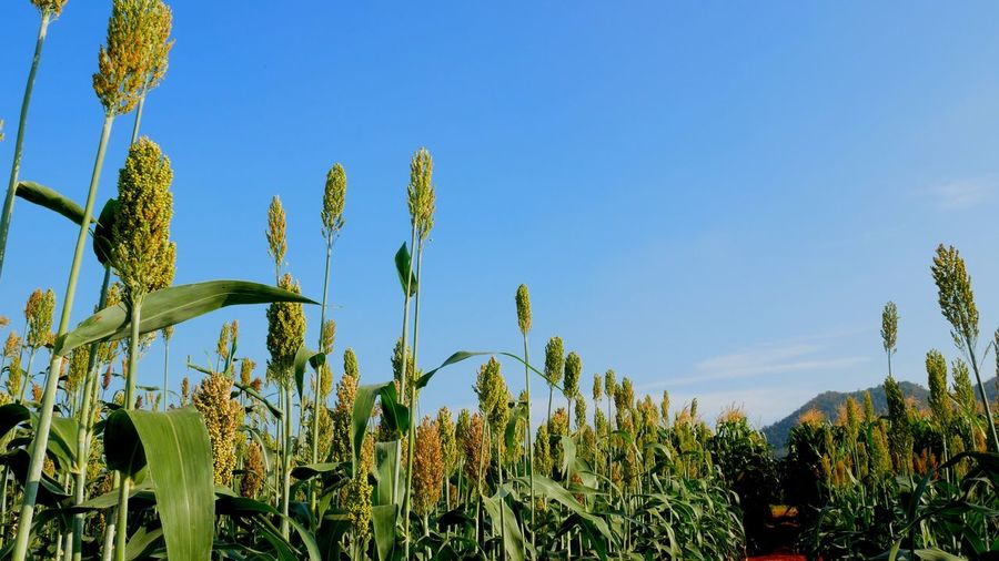 Millet field Millet Plant Sky Growth Beauty In Nature Tranquility Nature Blue No People Clear Sky Day Flower Flowering Plant Field Scenics - Nature Low Angle View Green Color Land Outdoors Copy Space Sunlight