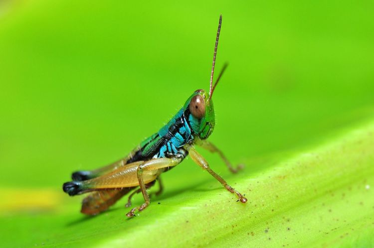 Colorful Grasshoppers from Java Island, Indonesia Grasshopper Animal Nature Insecta Orthoptera Anthropoda Macro Photography Insect